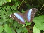 Papillon geant