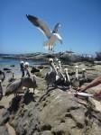 Pelicans affames vs mouette voleuse