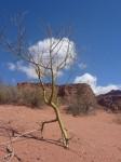 Photosynthese par le tronc pour eviter la secheresse