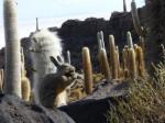 Viscacha mangeant le fruit d'un cactus