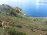Lama sur l'Isla del Sol