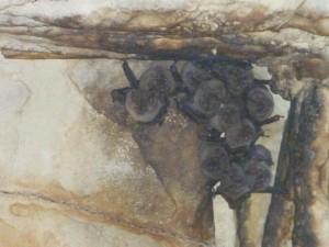 Chauves-souris dans le labyrinthe de Yaxchilan