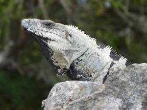 Iguane de chichen Itza