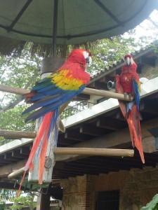 Perroquets de l'hotel Santo Domingo