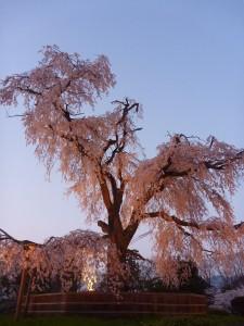 Le plus vieux cerisier de Kyoto