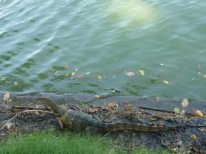 Gros lezard (1m de long !) dans le parc Lumphini de Bangkok