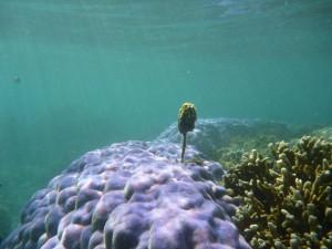 Corail violet