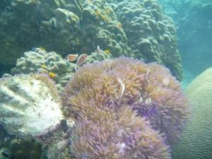 Anemone et Nemo (faux poisson-clown)