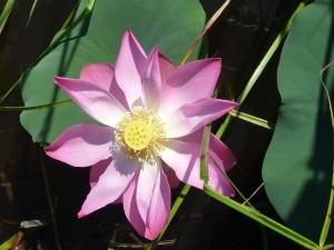 Fleur de lotus sur le lac Chini