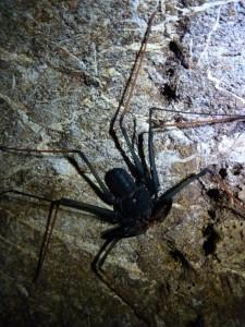 Araignee-scorpion