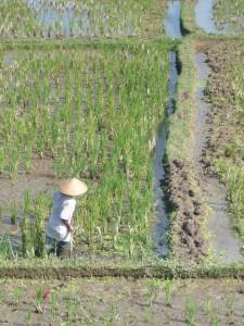travailleur dans les rizieres de Ubud