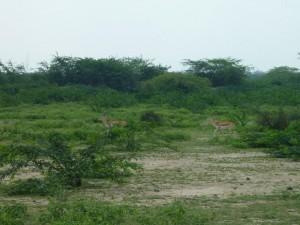 Gazelles sautillantes
