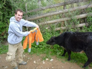 Torreador aux prises avec un bebe yack