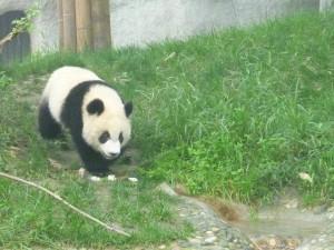 Pandi-panda... petit ourson de Chine