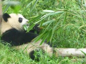 Festin de bambous