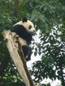 Panda acrobate