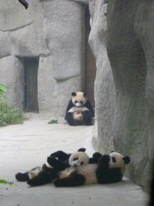 Jeu entre jeunes pandas