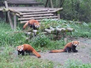 La troupe des pandas roux